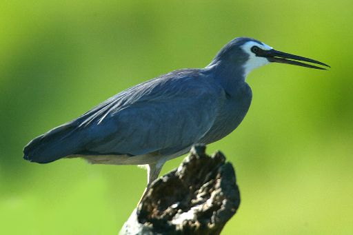 White Faced Heron Facts The White Faced Herons