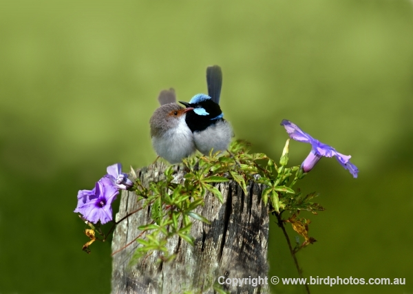 Superb Fairy-wren - Photo Art